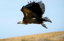Alliberen al pic Negre el voltor ferit trobat al Pas