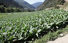 La pedra malmet el 40% de les plantacions de tabac del país