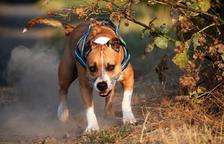 Els banders obren 44 expedients sancionadors a amos de gossos perillosos