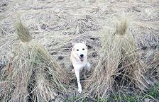 L'associació insta els pagesos a denunciar els gossos que entren en els camps